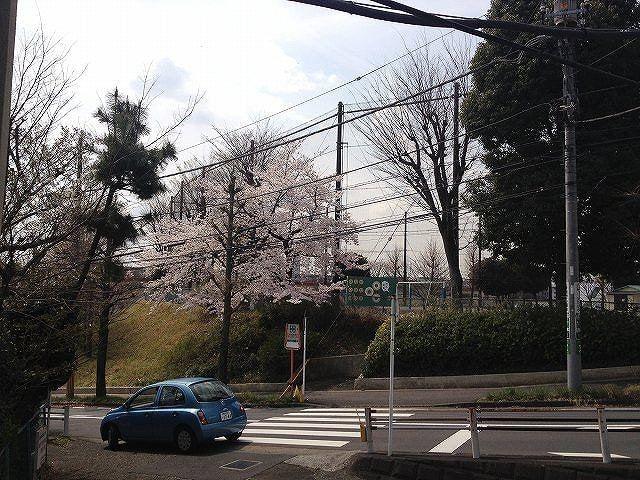 横浜市青葉区の美しが丘小学校の桜