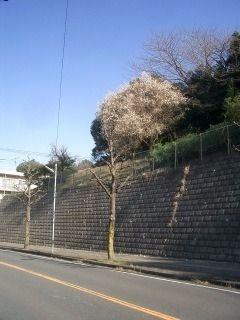 昨日外出中、『桜らしきもの』を発見。場所は、あざみ野中学校です。こんな感じなんですけど・・・。よく通るところだから、去年は、どうだったっけ・・?思い出せない・・。のり面の高台にあるので、ハッキ…