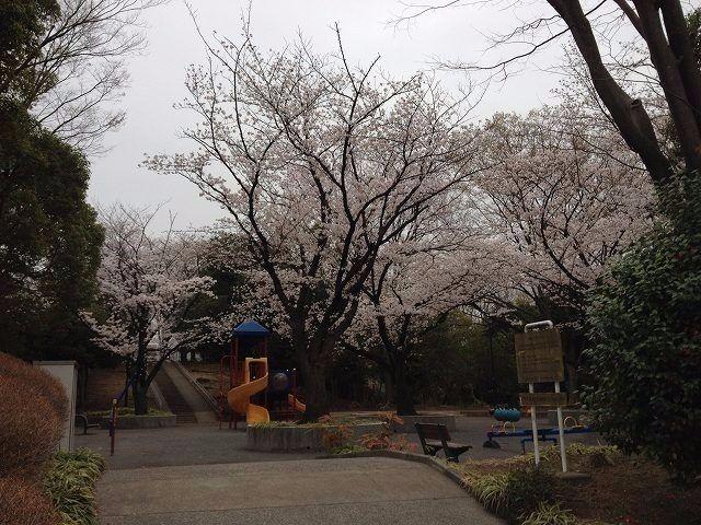 2013年3月25日(月曜日)今朝の山内公園の桜です。