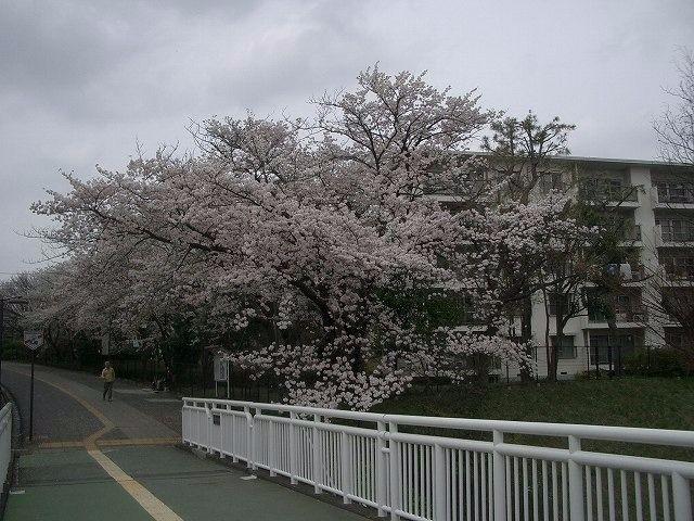 2013年3月30日たまプラーザ団地の桜
