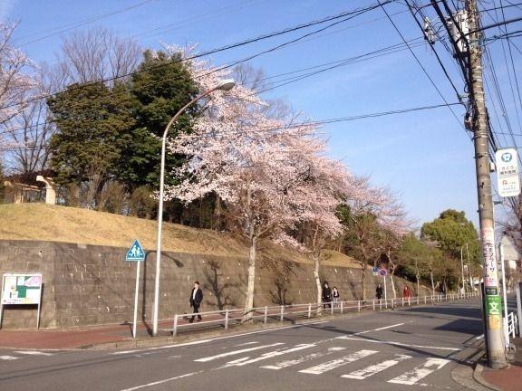 2013年4月1日(月)今朝の山内公園の桜です。