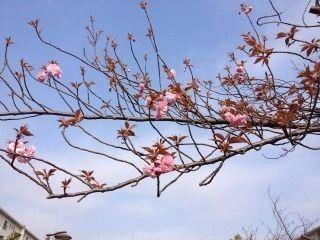 たまプラーザ団地の八重桜が咲き始ました。