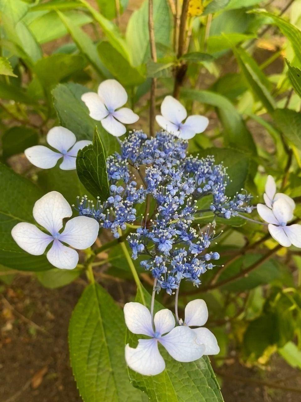 たまプラーザ団地の敷地内の遊歩道沿いの紫陽花(アジサイ・あじさい)