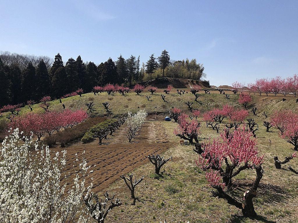 2019年3月18日の様子です。花桃の丘へは、美しが丘西側と、元石川町の覚永寺側から登ることができます。今日は覚永寺側から行きました。