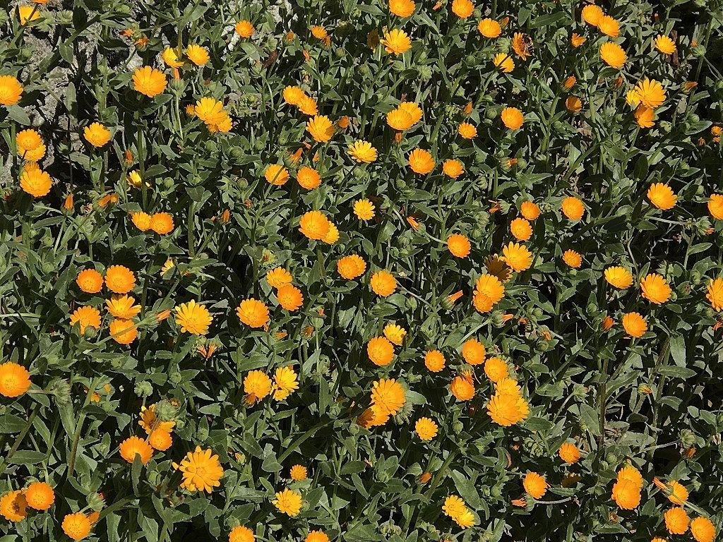 元石川町の花桃の丘の花