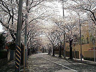 桜通りです。 桜並木がずっと続きます。