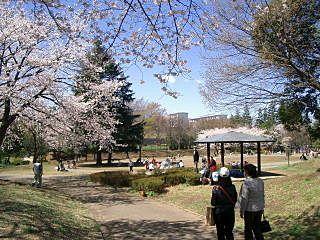 たまプラーザ・美しが丘公園の桜