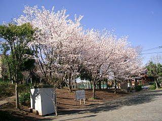 黒須田公園の桜