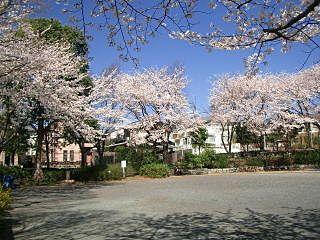 荏田北大入公園の桜です。