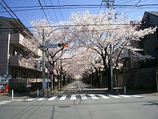 あざみ野の桜通りの満開の桜の様子です。