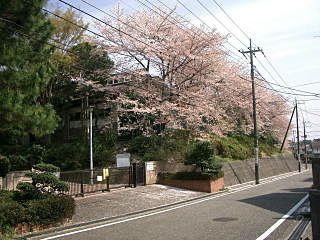 たまプラーザ・山内中学の桜です。美しが丘5丁目