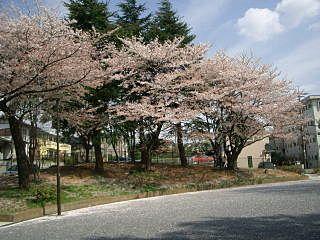 山内公園の桜です。