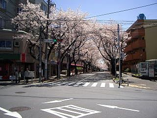 2008年のたまプラーザ・桜通りの様子です。