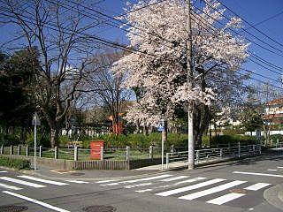 もみの木公園の桜です。
