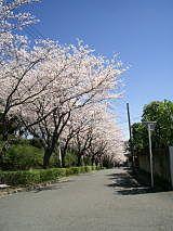 美しが丘中学校門前の桜