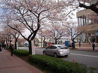 たまプラーザ駅前の桜 美しが丘1丁目にて。
