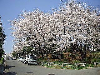 新石川日向公園内の桜