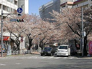 たまプラーザ駅前通の桜