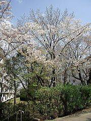 2009年のたまプラーザ団地の桜
