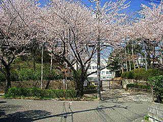 美しが丘中学の校門の桜