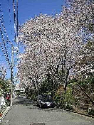 たまプラーザの美しが丘第7公園 (美しが丘4-42 )桜の様子です。