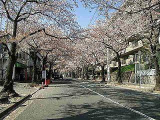 たまプラーザ駅近辺の桜