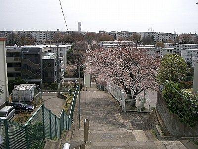 国学院幼稚園の桜