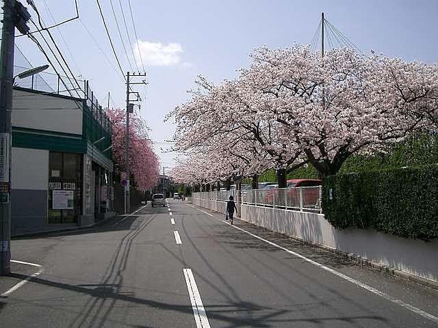あざみ野テニスクラブの桜