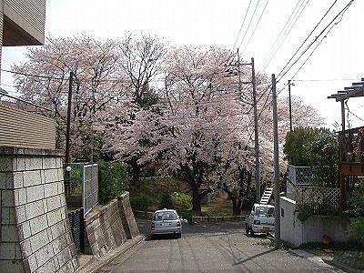 美しが丘第七公園の桜