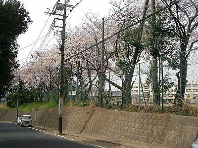 山内中学校区の桜