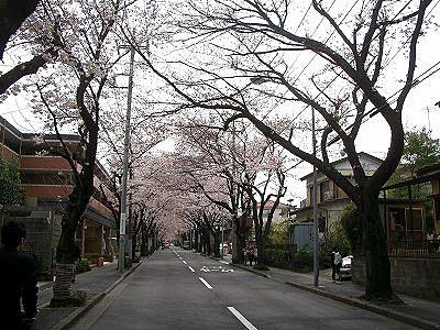 あざみ野の 桜通りの桜