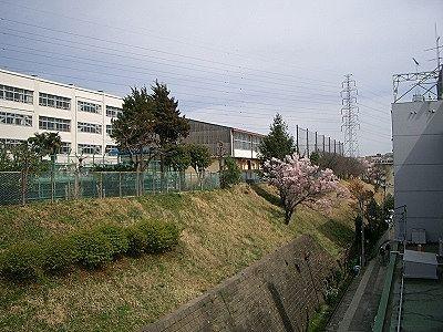 美しが丘小学校の桜