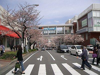 2011年/たまプラーザの桜の様子です。