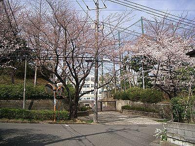 美しが丘中学の桜