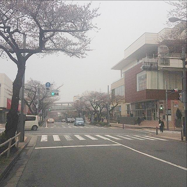 たまプラーザ駅前の桜