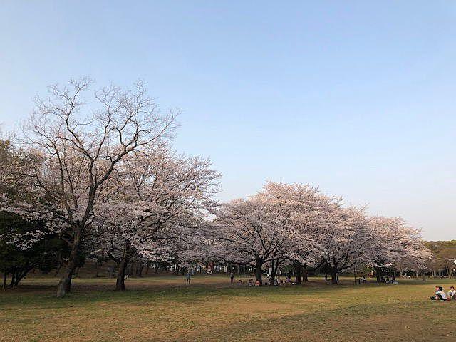 菅生緑地の桜