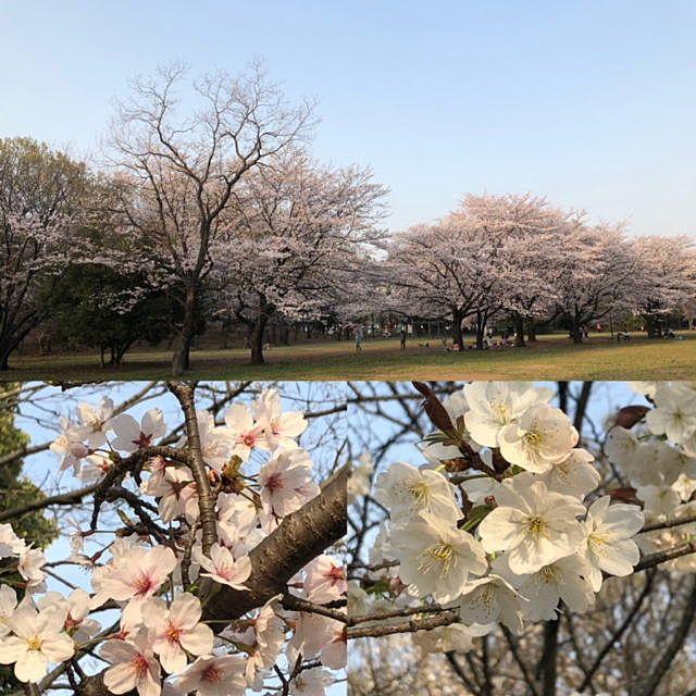 2006年から今年までの「たまプラーザ」の桜の記録です。