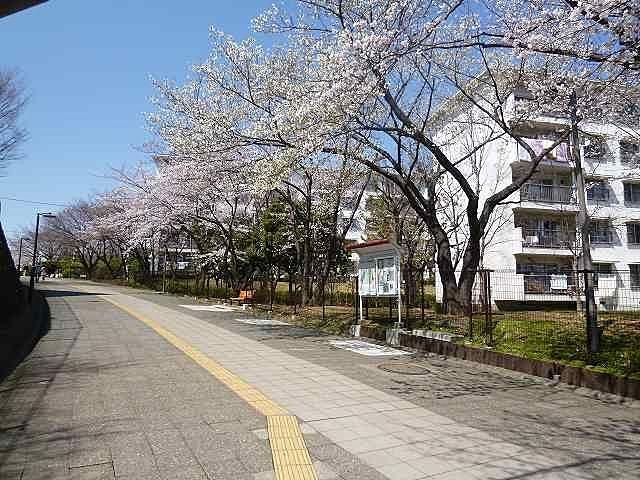 たまプラーザ団地の桜(たまプラーザ駅を背にして)