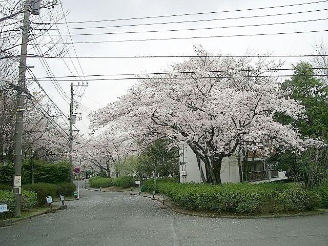 たまプラーザ団地の桜、今日がピークです