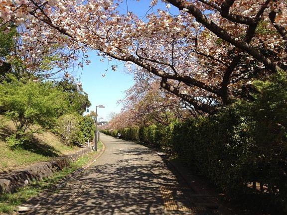 たまプラーザ団地の桜 最後に八重桜が咲いています。