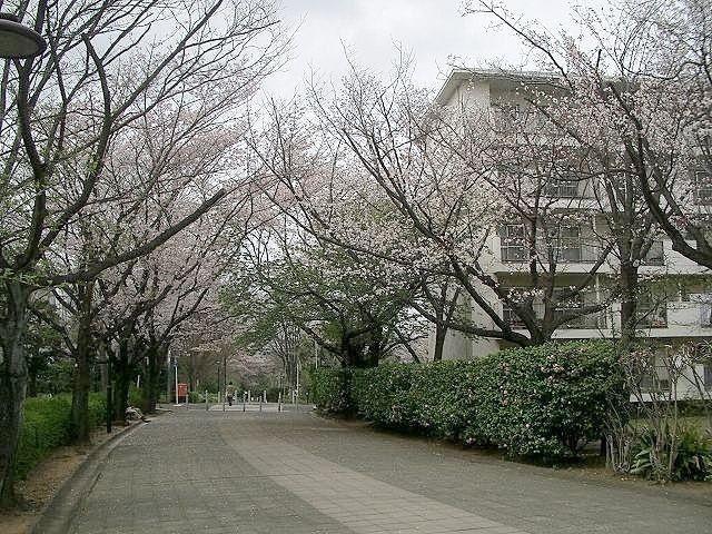 たまプラーザ団地遊歩道の桜、今日がピークですが