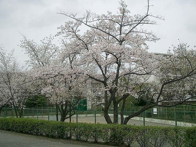 たまプラーザ団地の桜、公園近くの桜です。
