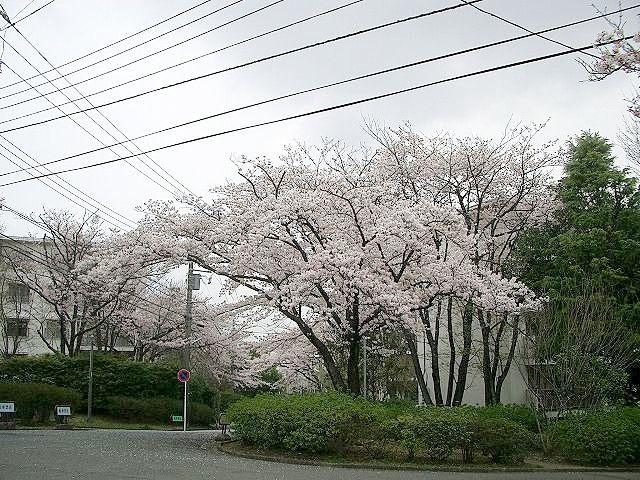 たまプラーザ団地の桜、天気はどんより、桜吹雪が舞ってた・・。