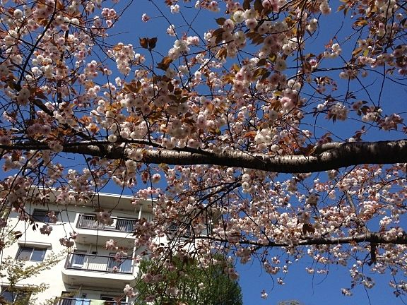 2013年/たまプラーザ団地の桜の様子です。そろそろ桜のシーズンも終わりです。最後に八重桜が咲いています。じゃぶじゃぶプールの少し先あたりです。