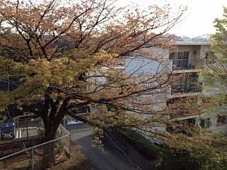 たまプラーザ団地の桜です。今日の桜はこんな感じです。散っちゃたな・・。でも、たまプラーザ団地の八重桜が咲き始ました。