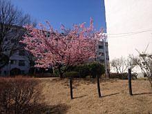 2014年/たまプラーザ団地の桜の様子です。たまプラーザ団地内は咲きそろっています!記録日と場所は、2014年4月2日(水)「たまプラーザ団地2街区の桜」「たまプラーザ団地2街区・3街区の桜」「たまプラーザ団地3街区の桜」「たまプラーザ団地6街区の桜」「たまプラーザ団地7街区の桜」「たまプラーザ団地から国学院幼稚園方向の桜」2014年4月1日(火)「たまプラーザ団地6-5号棟の桜」2014年3月21日(金)「たまプラーザ団地5号棟周辺の桜」です。