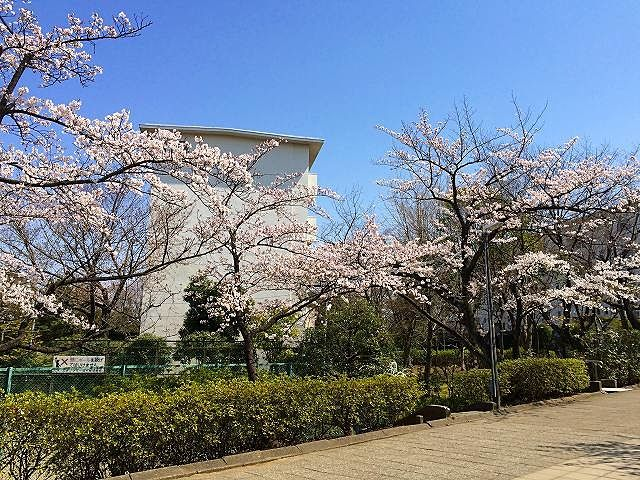 2015年/たまプラーザ団地の桜の様子です。晴れた日に恵まれて、きれいな桜が取れました!場所は、「たまプラーザ団地5街区じゃぶじゃぶプール前の桜」「たまプラーザ団地1街区の桜」「たまプラーザ団地敷地内の三角公園付近/1街区の桜」「たまプラーザ団地7街区の桜」この先は、国学院幼稚園・美しが丘小学校があります。「たまプラーザ団地6街区の桜」「たまプラーザ団地集会所の桜」です。