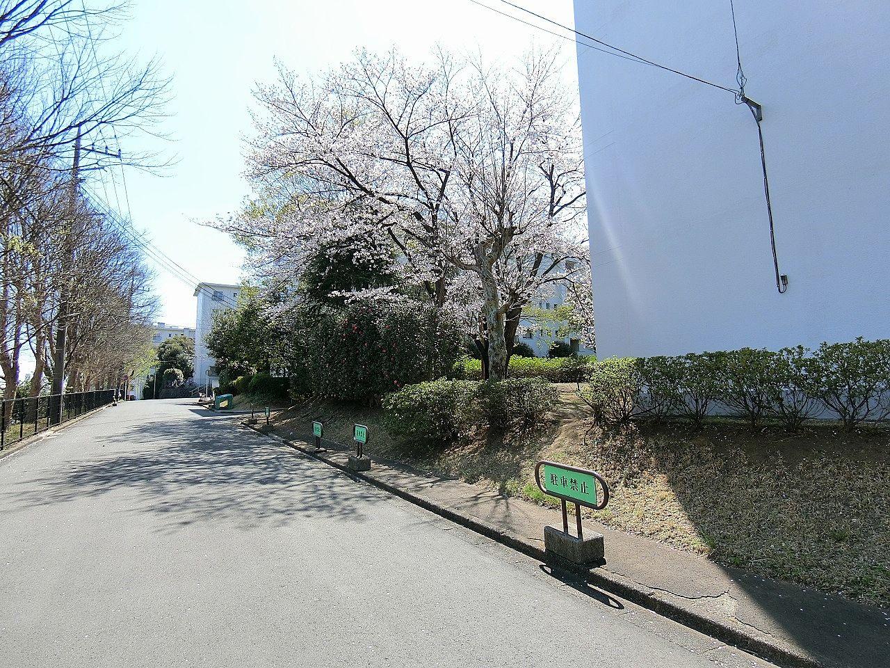 たまプラーザ団地1-4号棟の桜