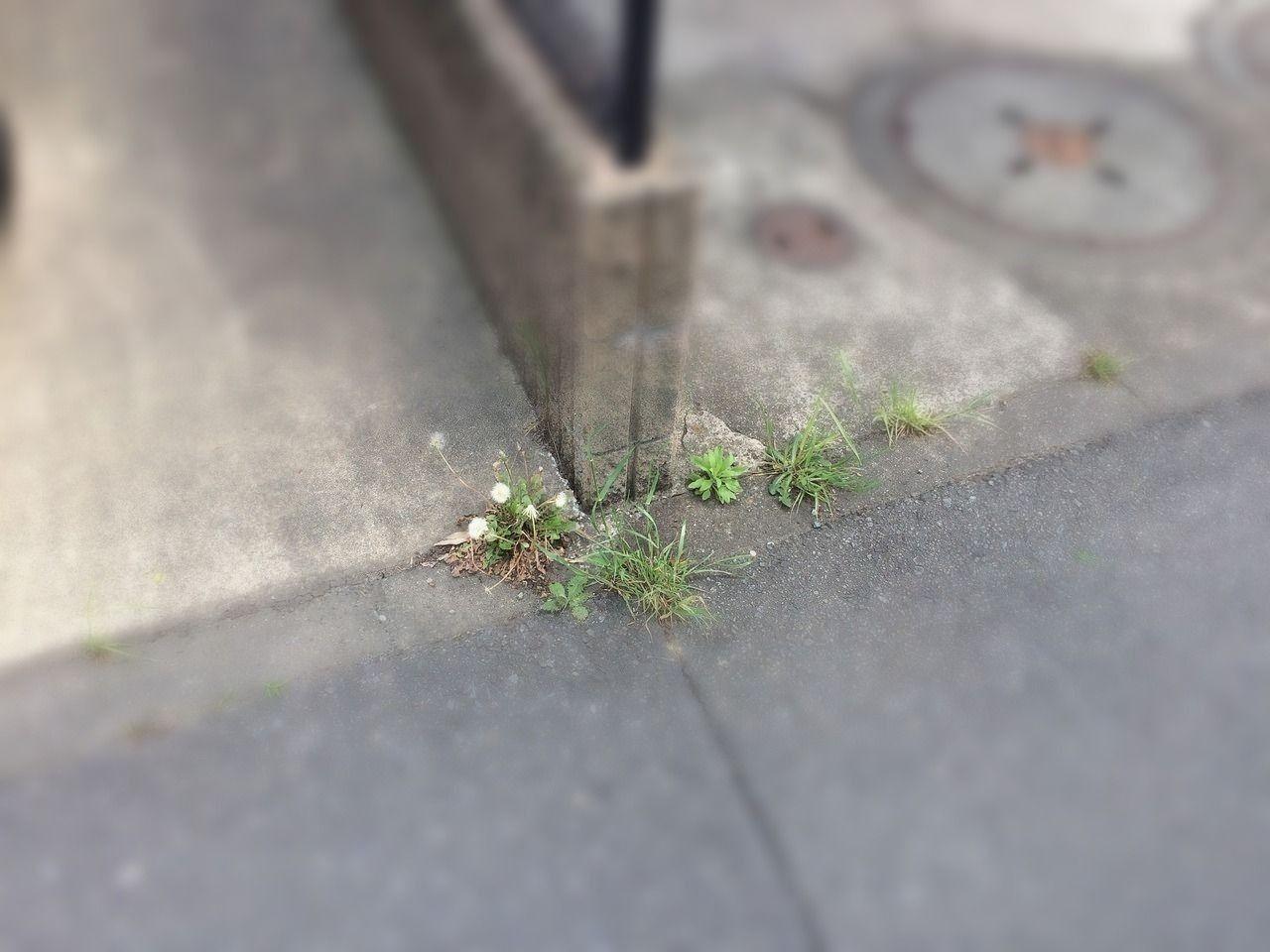 歩道の雑草