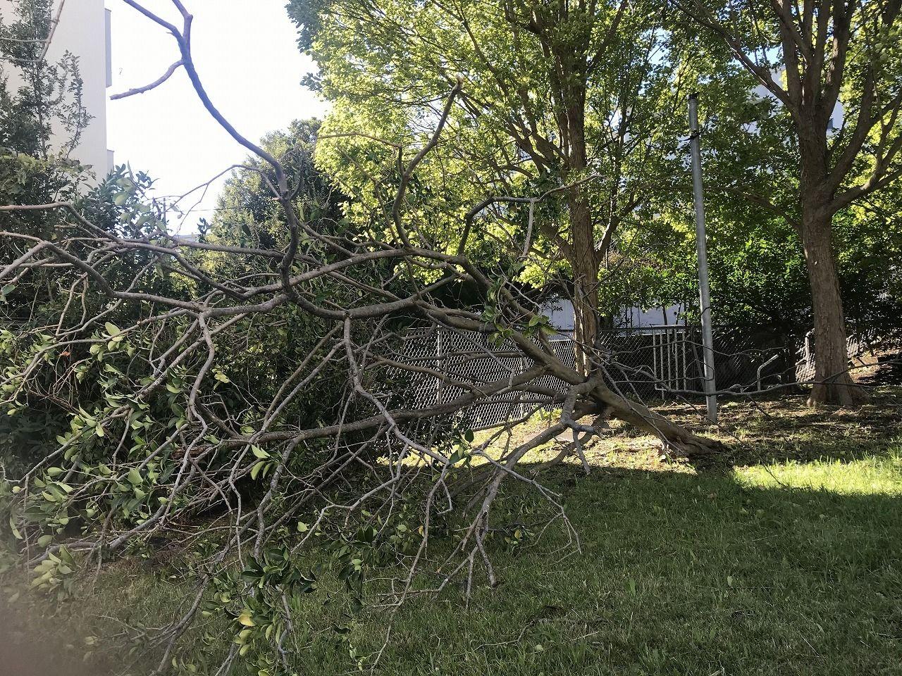 たまプラーザ団地6街区の倒木